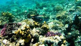 Poissons de chirurgien sur un récif coralien Photo stock