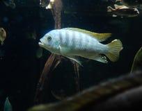 Poissons de Cichlid dans un aquarium photos libres de droits