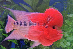 Poissons de cichlid de Flowerhorn Photo stock