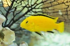 Poissons de Cichlid jaunes électriques dans l'aquarium Image libre de droits