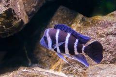 Poissons de cichlid réunis bleus et blancs de humphead dans le plan rapproché, un animal familier tropical et populaire d'aquariu photos stock