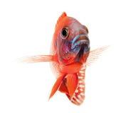 Poissons de cichlid rouges, poissons rouges rouges de paon Photo stock