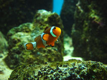 Poissons de clown photographie stock libre de droits