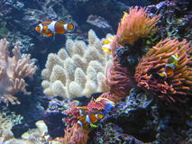 Poissons de clown image stock