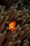 poissons de clown Image libre de droits