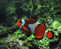 Poissons de clown (Amphiprion Ocellaris) Photos libres de droits