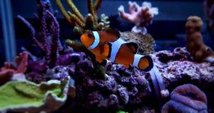 Poissons de clown d'Ocellaris dans l'aquarium Photo stock