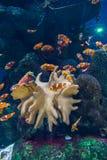 Poissons de clown dans l'aquarium Images stock