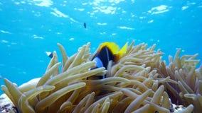 Poissons de clown dans la fin d'anémone, la Mer Rouge Égypte Image libre de droits