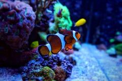 Poissons de clown dans la scène d'aquarium de récif coralien Photographie stock