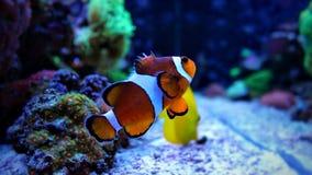 Poissons de clown dans la scène d'aquarium de récif coralien Images libres de droits