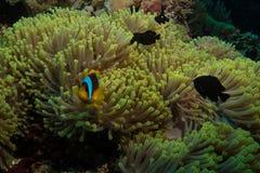 Poissons de clown en Mer Rouge Photo libre de droits