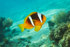 Poissons de clown, l'eau bleue, récif coralien - anemo de la Mer Rouge Photographie stock libre de droits