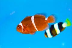 Poissons de clown ou poissons d'anémone Photographie stock libre de droits
