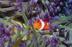 Poissons de clown se cachant parmi des anenomies de mer Photographie stock libre de droits