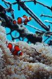 Poissons de clown symbiotiques avec l'anémone photos libres de droits