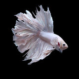 Poissons de combat, betta Image stock