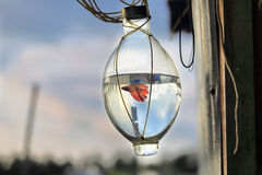 Poissons de combat dans la bouteille Image libre de droits