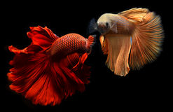 Poissons de combat de Betta ou de Saimese Images stock