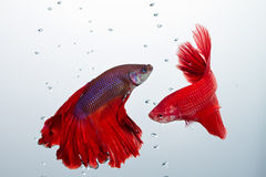 Poissons de combat de betta rouge Photo stock