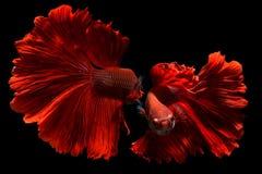 Poissons de combat rouges de fantaisie de Betta ou de Saimese photographie stock