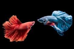 Poissons de combat siamois bleus et rouges sur le noir image libre de droits