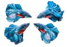 Poissons de combat siamois bleus, splendens de betta d'isolement photographie stock