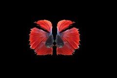 Poissons de combat siamois d'isolement sur le poisson de fond, rouge et bleu noir de demi-lune de betta Photo stock