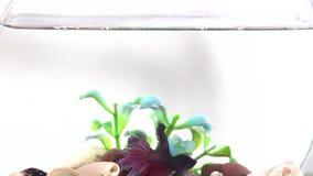 Poissons de combat siamois dans la cuvette de poissons clips vidéos