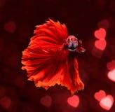 Poissons de combat siamois de dragon rouge, poissons de betta sur le bokeh rouge h de tache floue Image libre de droits