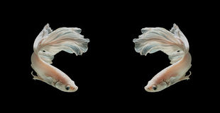 Poissons de combat siamois de platine blanc de Platt Fighti siamois blanc photos stock