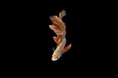 Poissons de combat siamois, orange, poisson de betta sur le fond noir Image libre de droits
