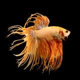 Poissons de combat siamois, poissons de Betta photo libre de droits