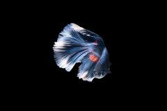 Poissons de combat siamois, rouge, poisson de betta sur le fond noir Photos libres de droits