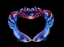 Poissons de combat siamois rouges et bleus, isola de poissons de betta de symbole de coeur Photographie stock