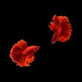 Poissons de combat siamois sur le fond noir, poissons de betta Images libres de droits