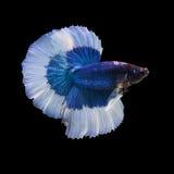 Poissons de combat siamois sur le fond noir, poissons de betta Image stock