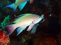 Poissons de corail Photo stock