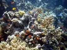 Poissons de corail de colonie et de corail. Photo stock