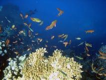 Poissons de corail de colonie et de corail. Photos libres de droits