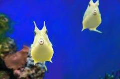 Poissons de corail exotiques ridicules de Cowfish mignon de Longhorn Poissons drôles tropicaux jaunes sur le fond bleu Photo stock