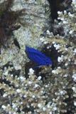 Poissons de corail outre d'île de Balicasan, Philippines Image libre de droits