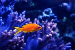 Poissons de corail - squamipinnis de Pseudanthias Photographie stock