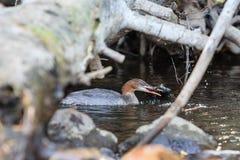 Poissons de crochet d'oiseau, le lac Tahoe Photographie stock