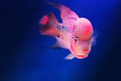 poissons de croisement Photos stock