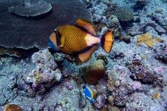 Poissons de déclenchement de titan, l'Océan Indien sous-marin photographie stock