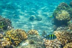 Poissons de Dascillus en récif coralien Photo sous-marine d'habitants tropicaux de bord de la mer Photos libres de droits