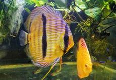 poissons de disque dans le réservoir d'aquarium Photos libres de droits