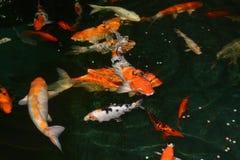Poissons de fantaisie de carpe, poissons de koi Photo libre de droits