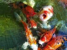 Poissons de fantaisie colorés de carpe, poissons de koi de carpe dans la piscine Images stock